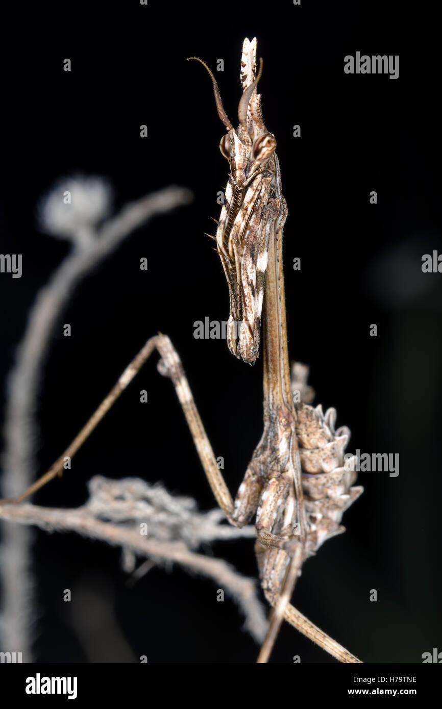 Empusa Pennata Insekt Mantiss hautnah. Schwarzer Hintergrund. Stockbild