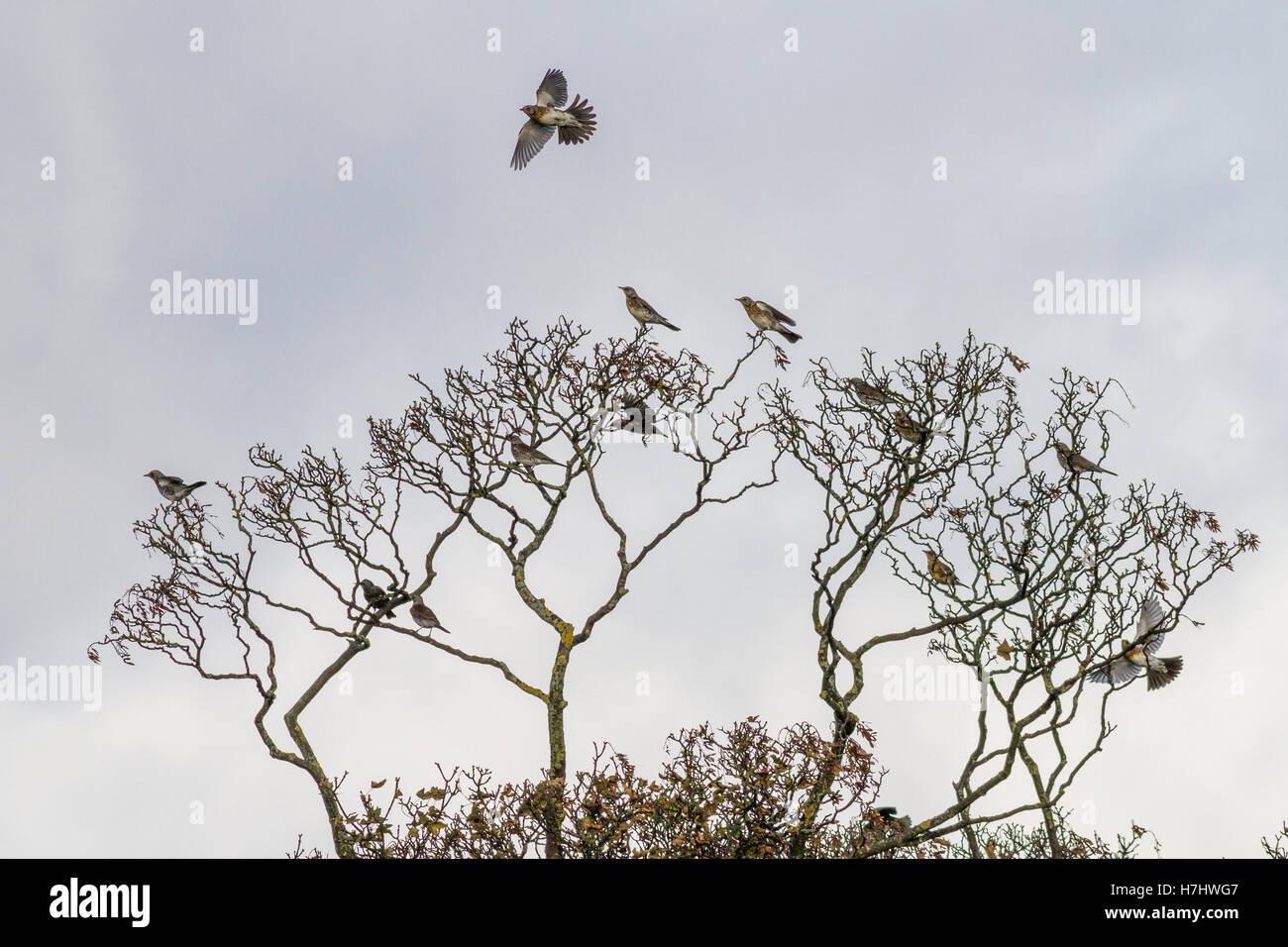 Herde von fieldfares, nach Migration angekommen, einige im Flug, in den Baumkronen Stockbild