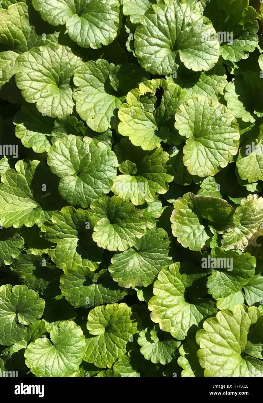 Dicken Bodendecker Pflanzen Machen Einen Unkraut Hintergrund