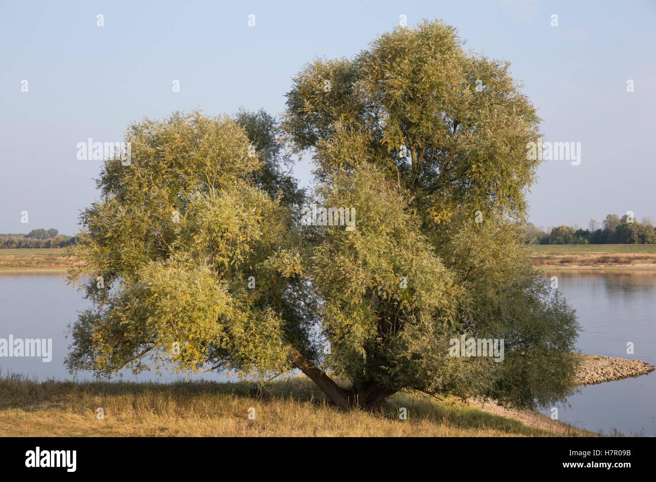 silber weide silberweide weissweide wei weide weide salix alba white willow le saule. Black Bedroom Furniture Sets. Home Design Ideas