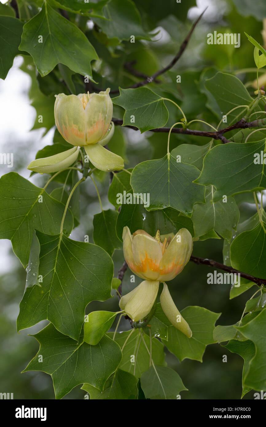 Amerikanischer Tulpenbaum, Tulpen-Baum, Magnolie, Liriodendron Tulipifera, Kanarischen Whitewood, Polar Tulip, Tulip Stockbild