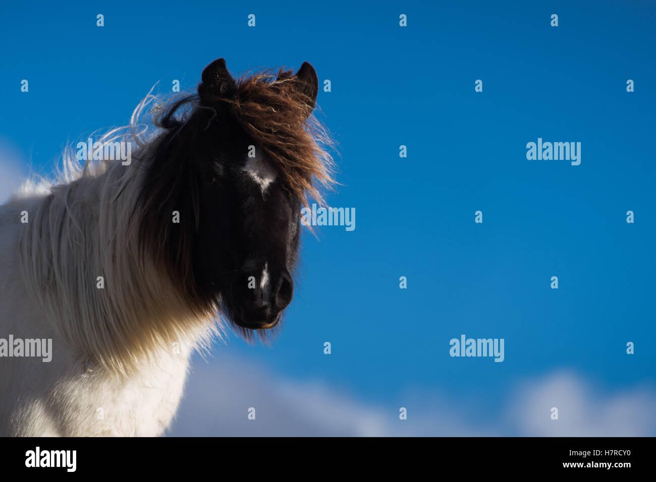 Wilde Welsh Mountain Pony auf der Black Mountain Range in Brecon-Beacons-Nationalpark, Wales, Großbritannien Stockbild