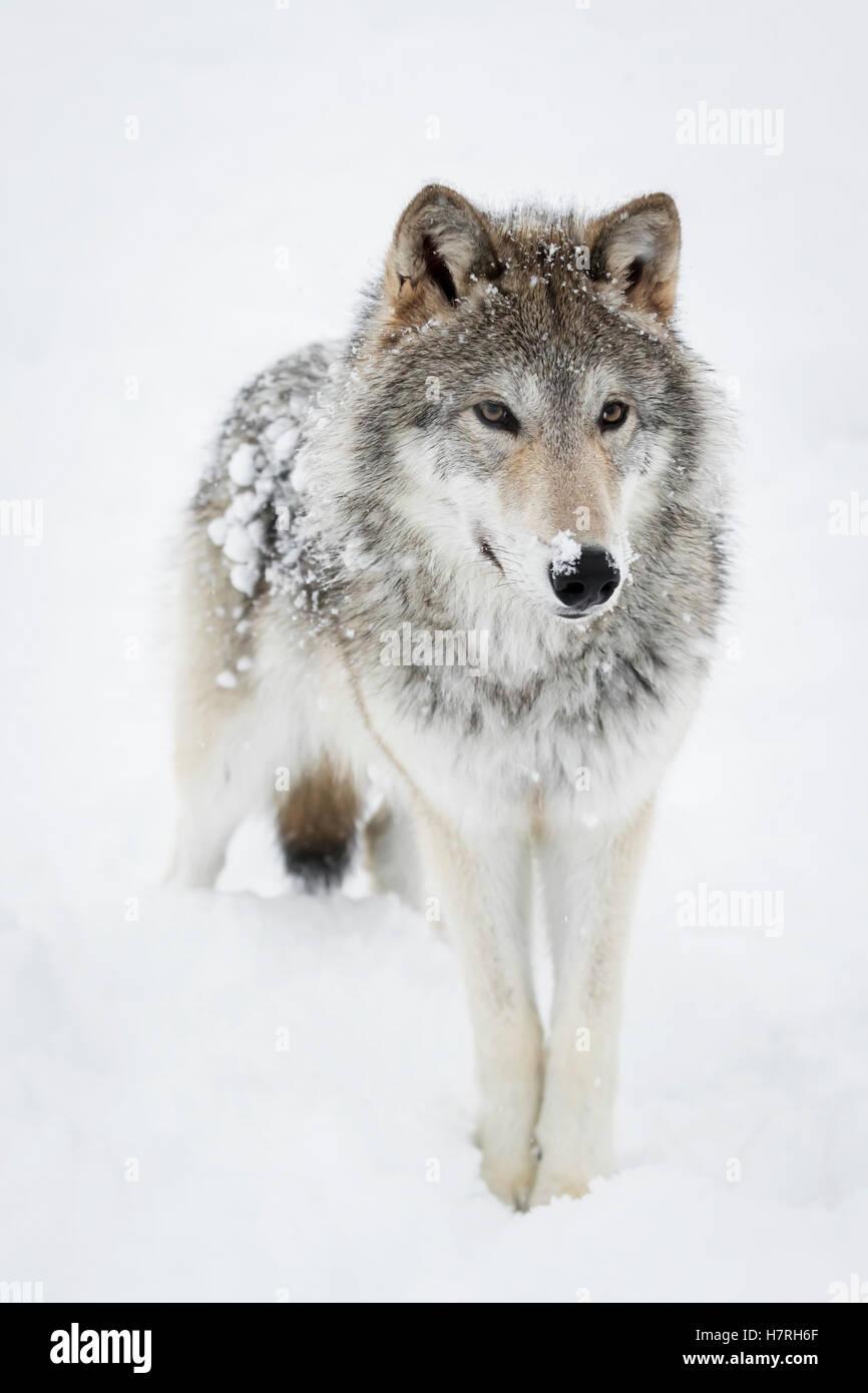 Weibliche Tundra Wolf (Canis Lupus Albus) spielt und Spaziergänge rund um Schnee, gefangen im Alaska Wildlife Stockbild