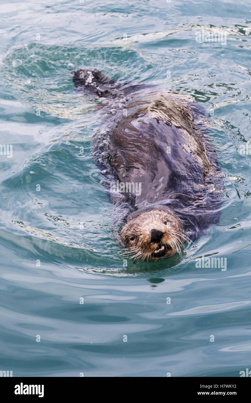 Nahaufnahme von einem Seeotter Schwimmen im Resurrection Bay, Seward, Yunan Alaska, USA Stockfoto