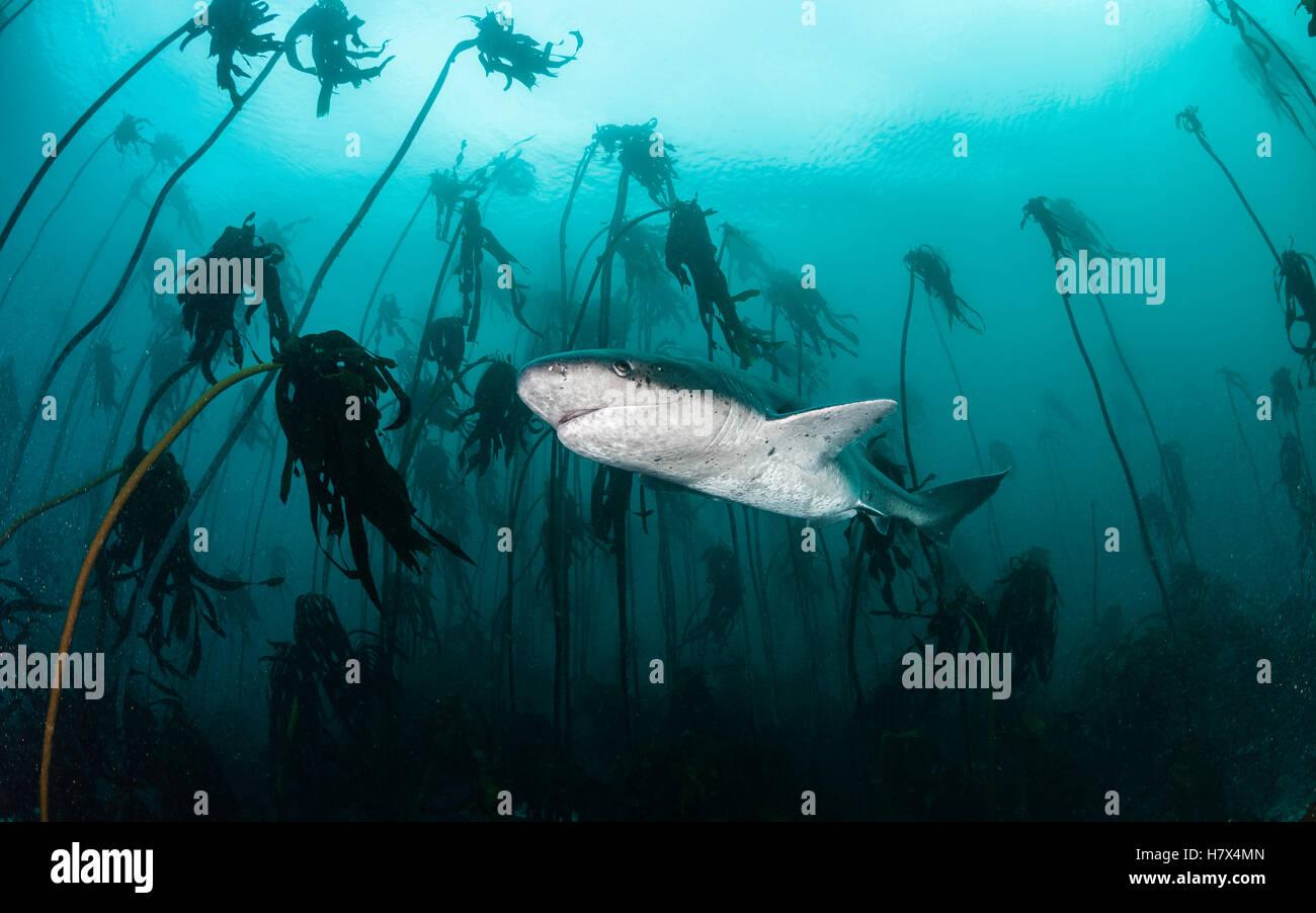 Breite Nase sieben Gill hai Schwimmen durch die seetangwälder auf die False Bay, Simonstown, Südafrika. Stockbild