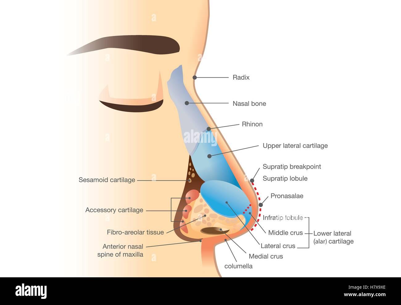 Anatomie der menschlichen Nase Vektor Abbildung - Bild: 125353718 ...