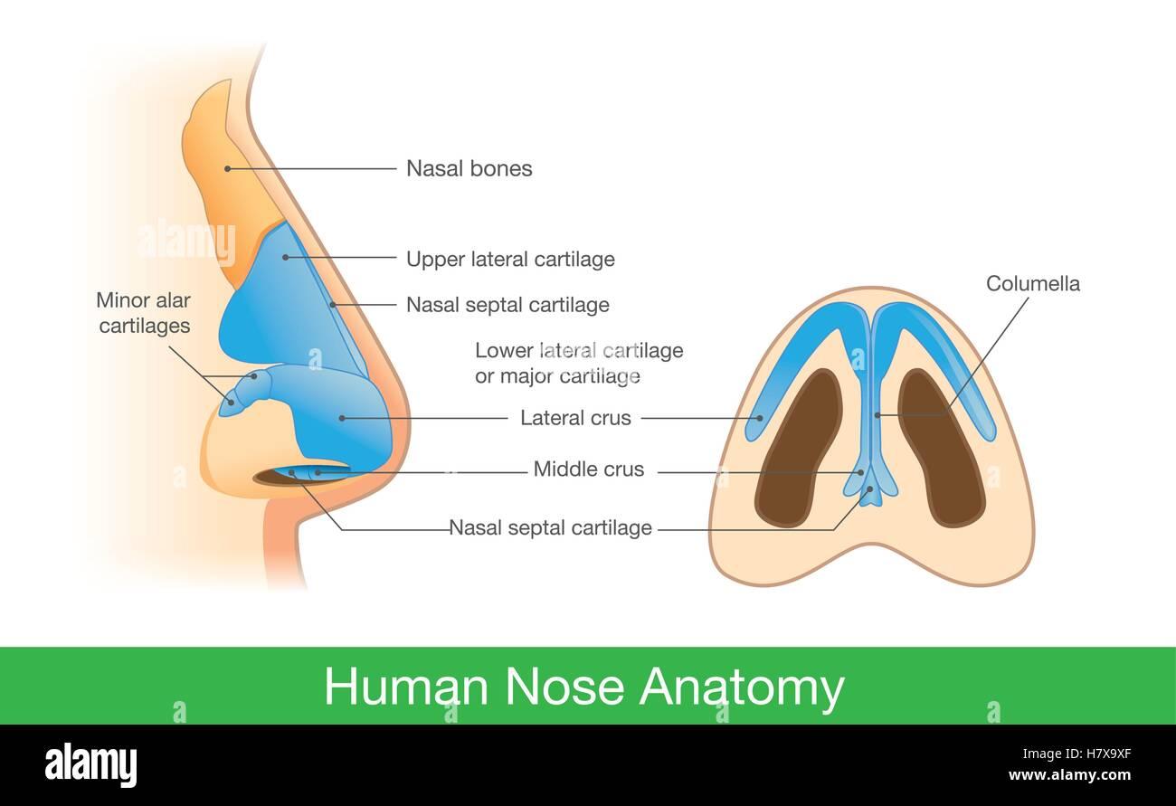 Ziemlich Endoskopische Anatomie Der Nase Bilder - Menschliche ...