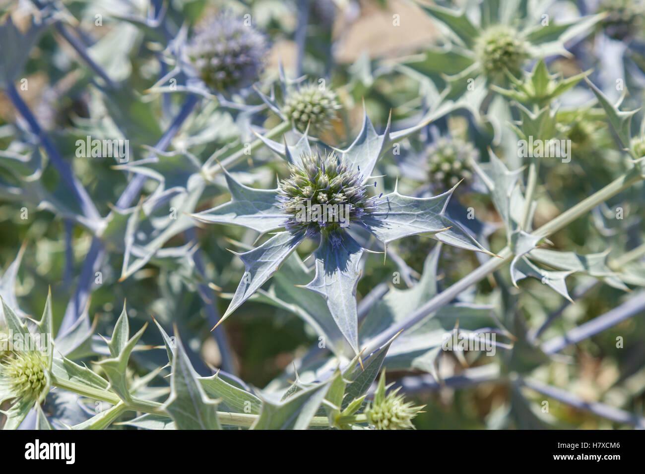 Getrocknete Blumen. Detailliertes Bild der getrocknete Blumen im Sommertag hautnah. Stockbild