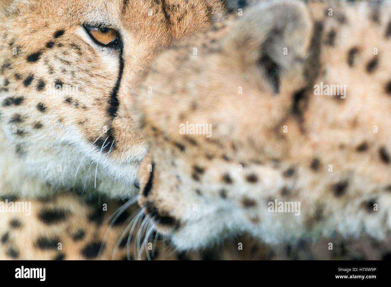 Gepard (Acinonix Jubatus) Porträt, Gruß, Nahaufnahme, Masai Mara National Reserve, Kenia Stockbild