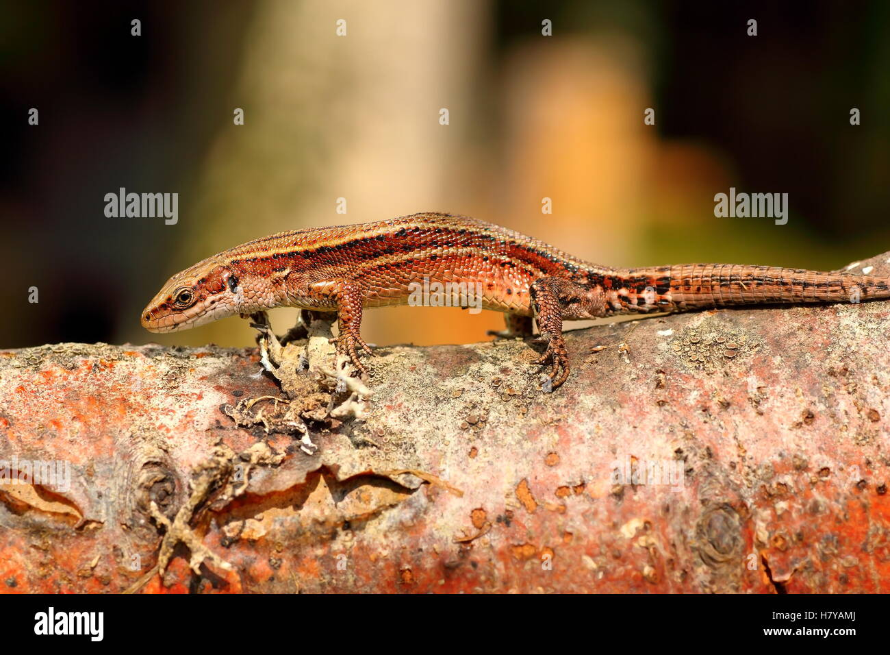 Balkan Mauereidechse Aalen auf hölzernen stumpf (Zootoca Vivipara) Stockfoto