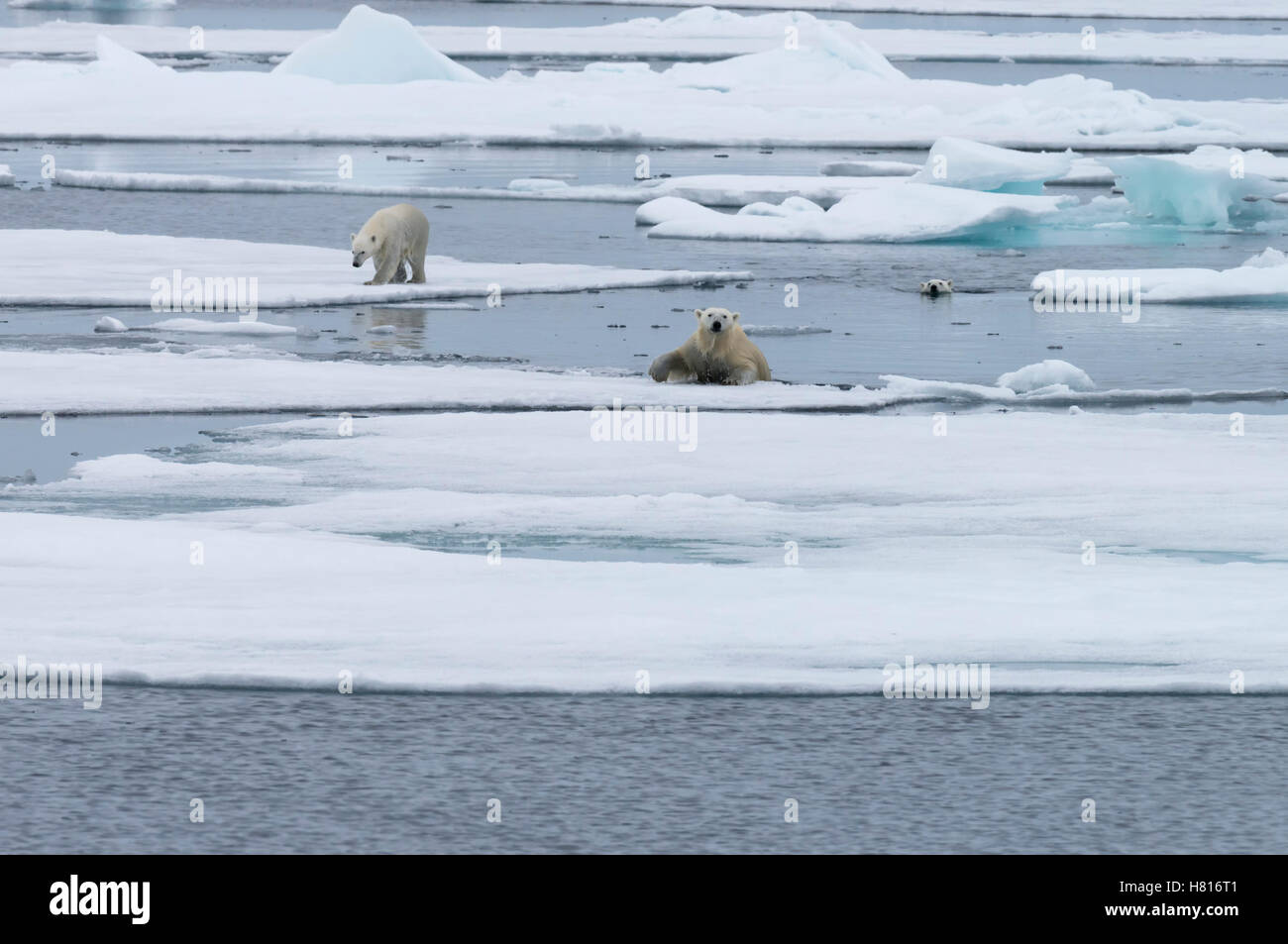 Mutter Eisbär (Ursus Maritimus) mit zwei jungen spazieren gehen oder schwimmen über schmelzende Eisscholle, Stockbild