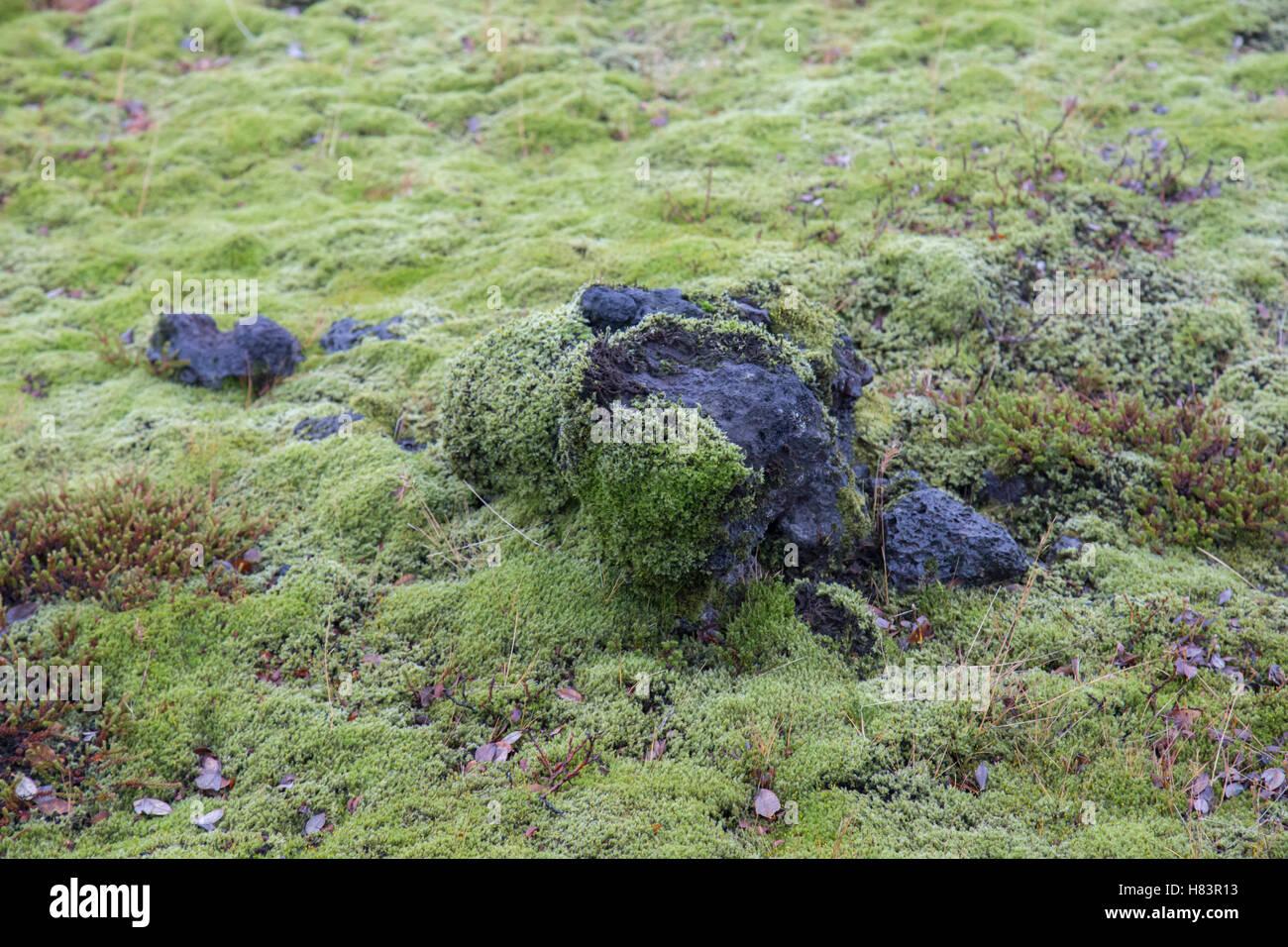 Wolligen Moos auf Vulkangestein in Eldhraun Lava Feld Island Stockbild