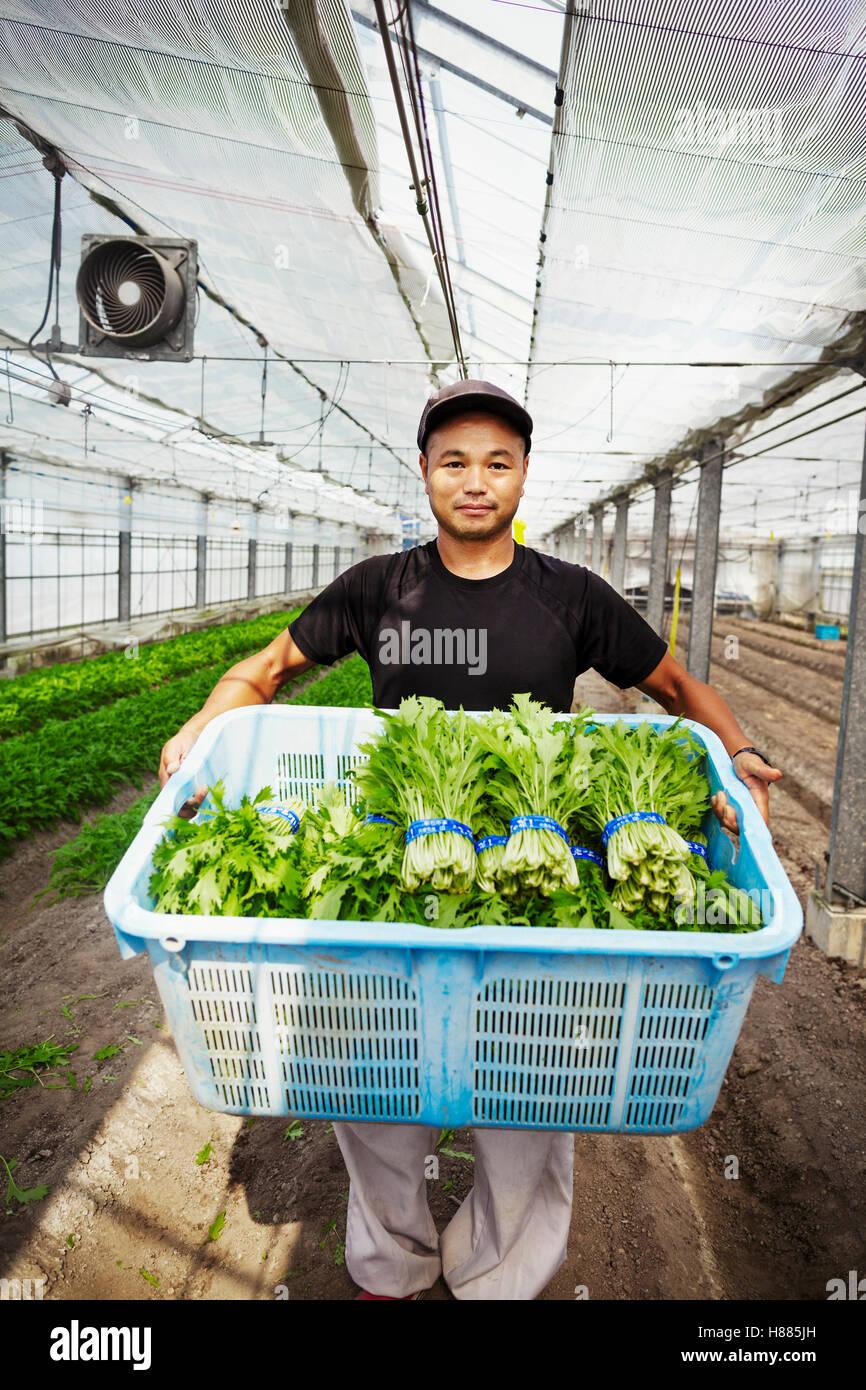 Arbeiter in einem Gewächshaus hält eine Kiste voller frisch geernteten Gemüse. Stockbild
