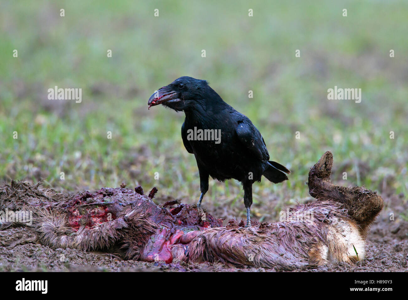 Gemeinsamen Raven / northern raven (Corvus Corax) Aufräumvorgang auf Kadaver von verendeten Reh (Capreolus Stockbild