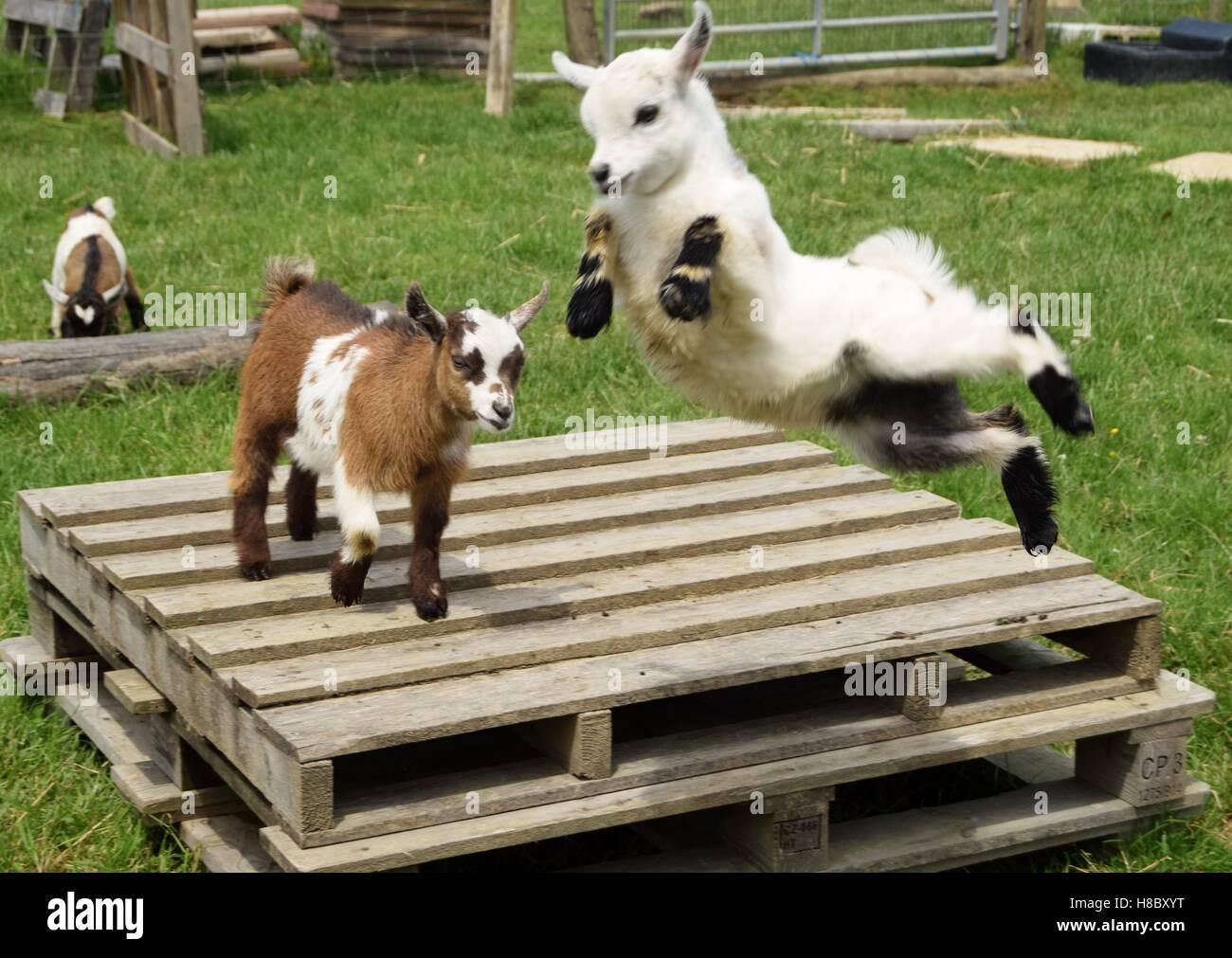 So froh, lebendig zu sein. Alice die Ziege Kid in der Luft. Stockbild