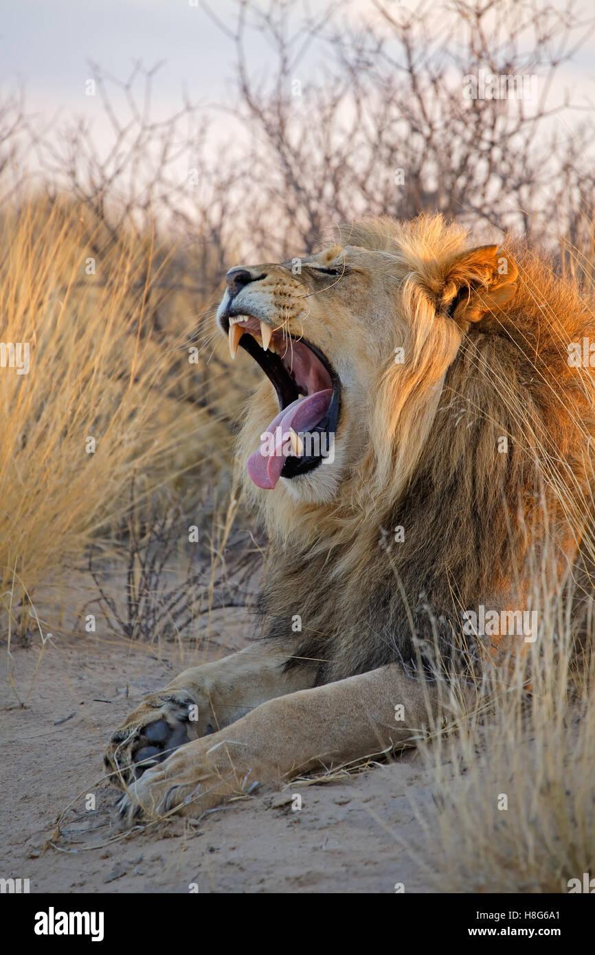 Gähnen großen männlichen Afrikanische Löwen (Panthera Leo) im frühen Morgenlicht, Kalahari-Wüste, Südafrika Stockfoto