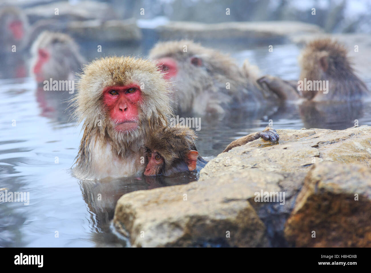 Affen in einem natürlichen Onsen (heiße Quelle), befindet sich in Jigokudani Park, Yudanaka Schnee. Nagano, Stockbild