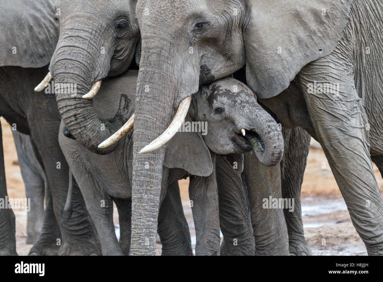Teil einer Reihe von Bildern dokumentiert die komplexen sozialen Interaktionen des afrikanischen Elefanten, wenn Stockbild