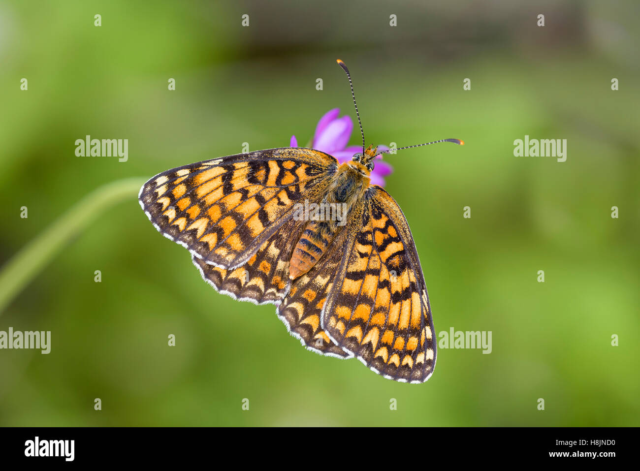 Flockenblumen-Scheckenfalter, Melitaea Phoebe, Flockenblume Fritillary Butterfly Stockbild