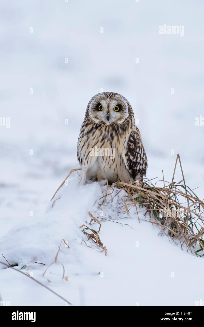 Sumpfohreule, Asio Flammeus, wilde Short Eared Owl im Winterschnee Stockfoto