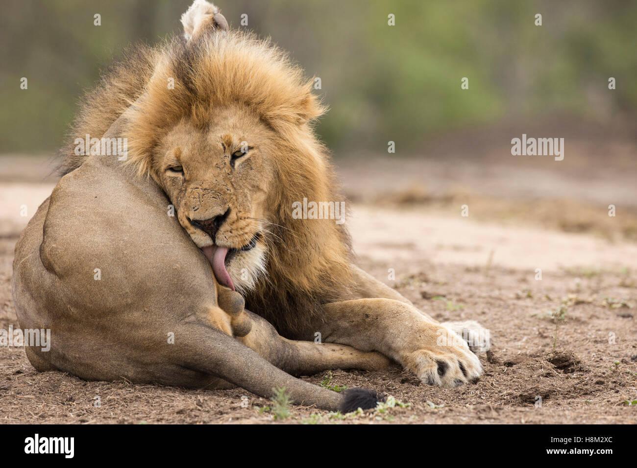 Männlicher Löwe (Panthera Leo), leckte seine Kugeln Stockbild
