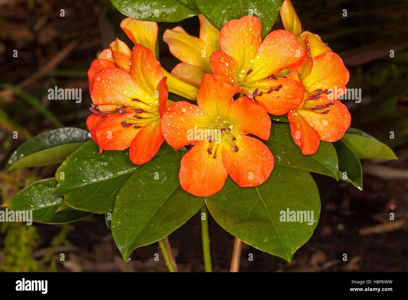 Rhododendron Gelbe Blätter tropical rhododendron stockfotos tropical rhododendron bilder alamy