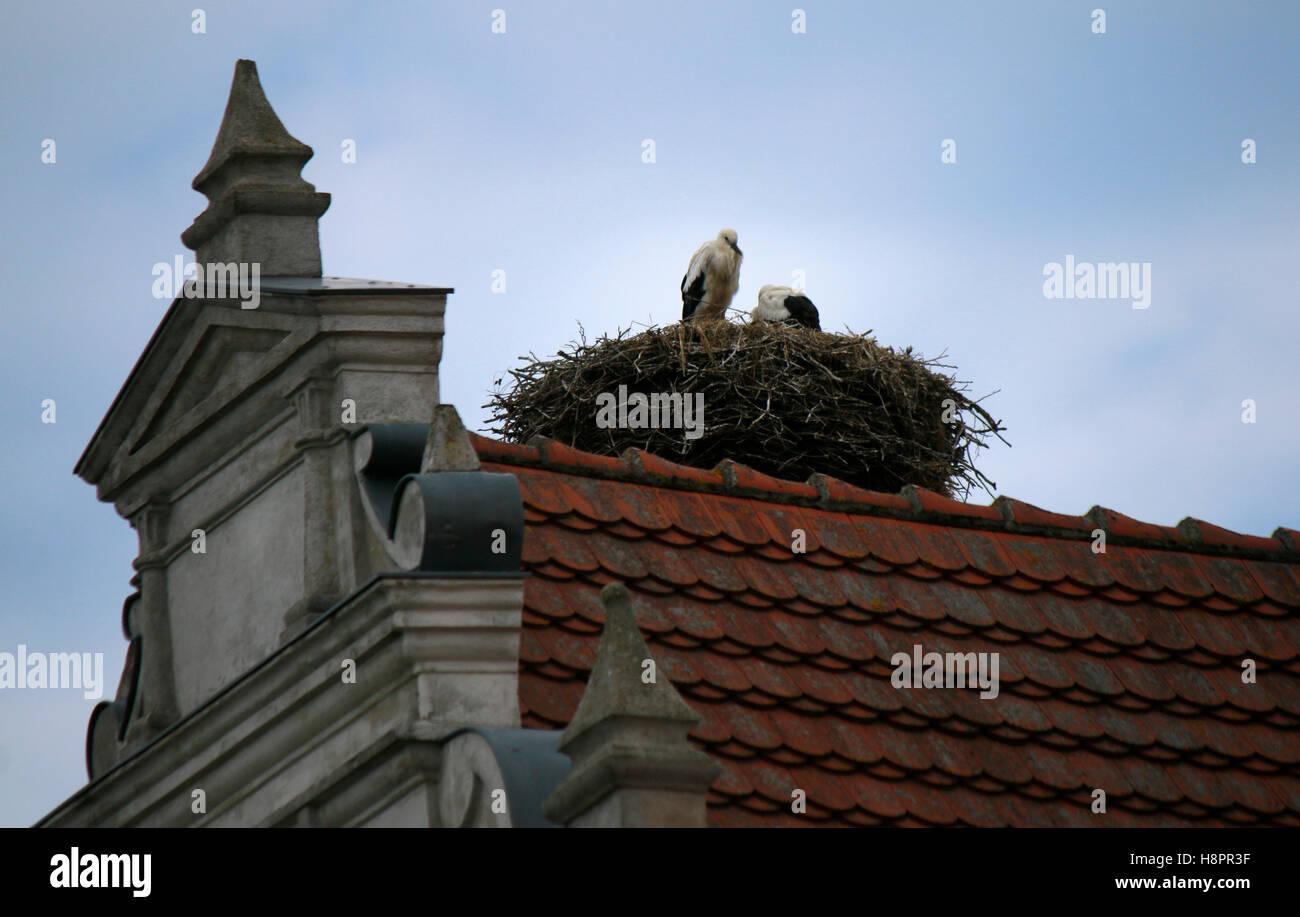 Storch, Silberdistel, Rügen. Stockbild