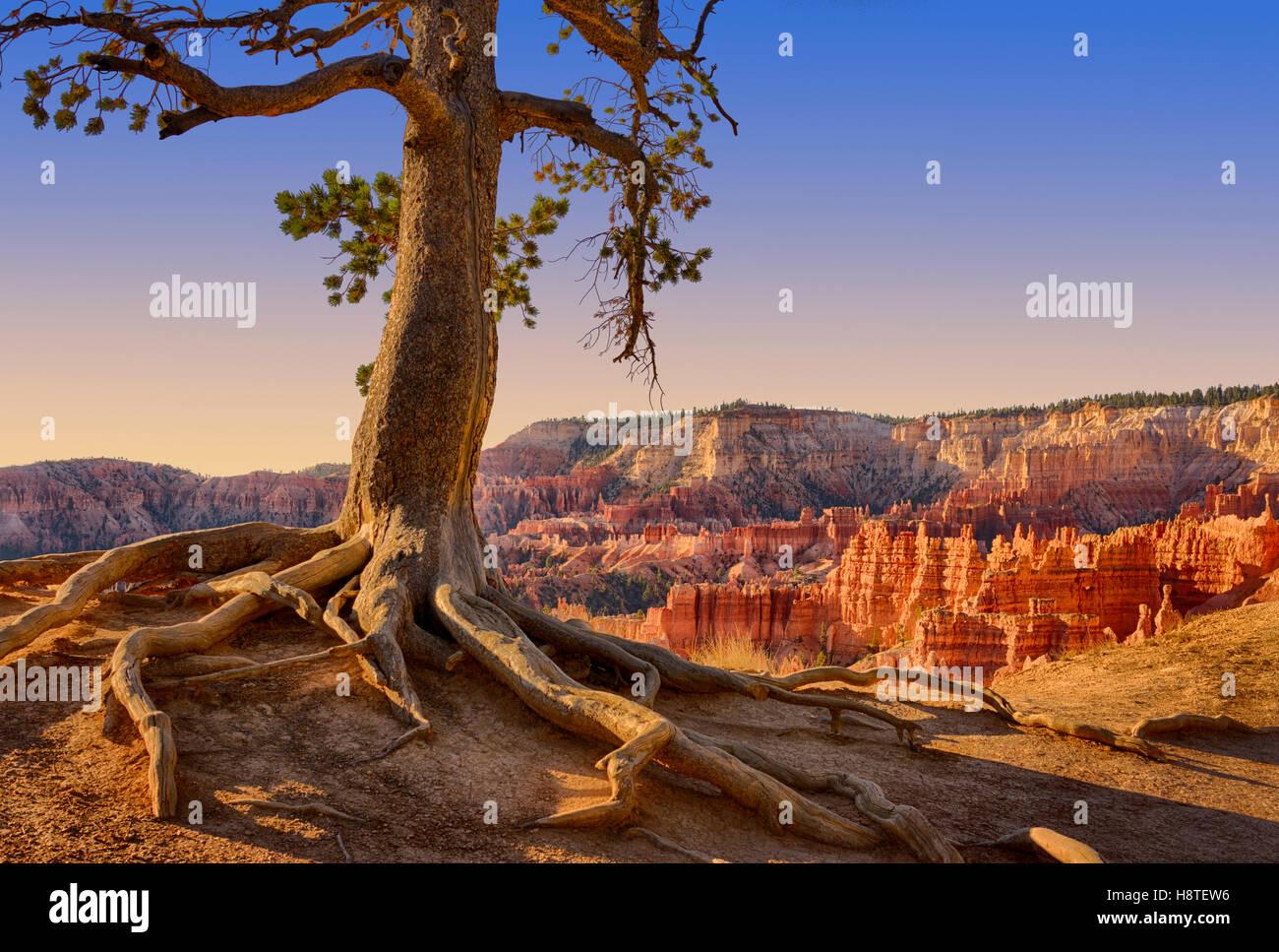 Pine Tree erhält einen Griff auf den Canyon Rand. Bryce Canyon National Park, Utah, USA Stockbild