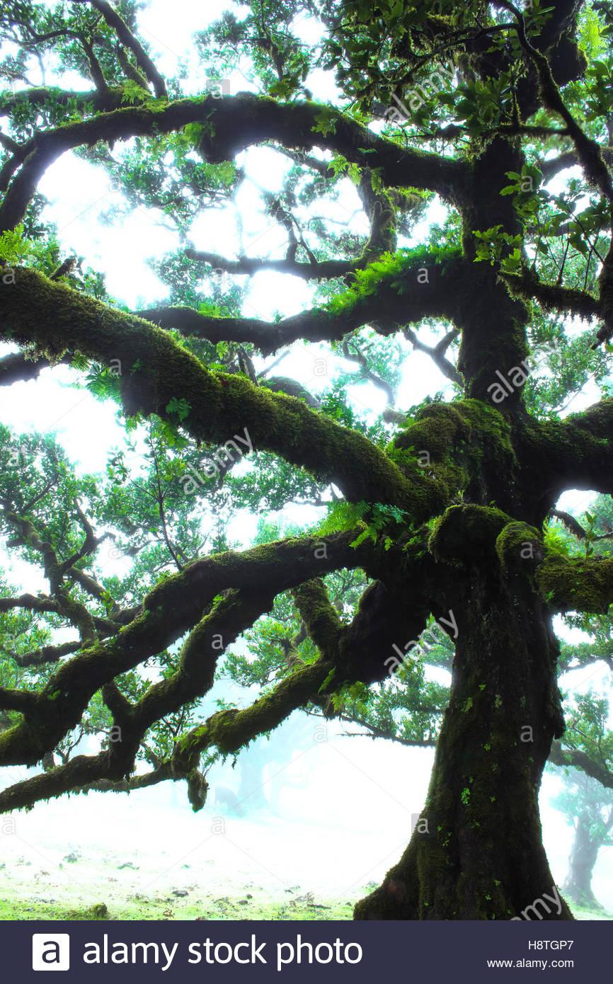 Lorbeerwald Laurisilva Madeira, Portugal, unheimlich gruselig Bäume in nebligen Landschaft, magische gruseligen Stockbild