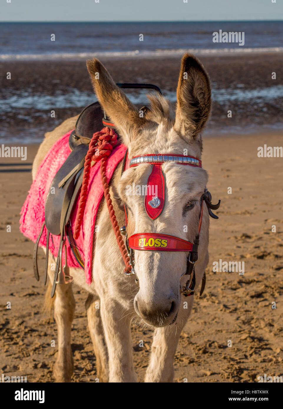 Esel am Strand, Blackpool, Lancashire, UK. Stockbild