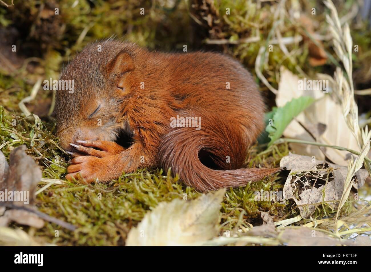 squirrel sleeping stockfotos squirrel sleeping bilder seite 2 alamy. Black Bedroom Furniture Sets. Home Design Ideas