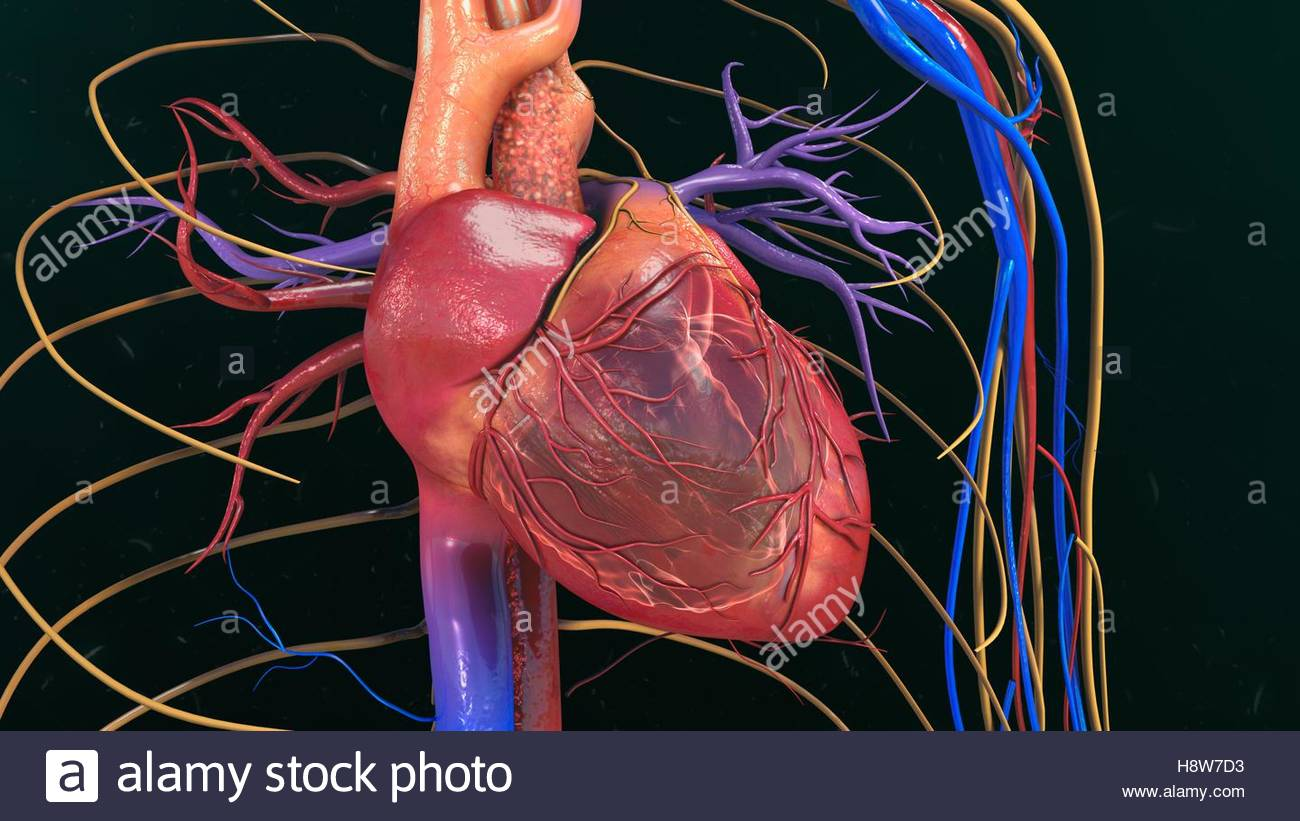 Wunderbar Anatomie Des Menschlichen Herzens Video Bilder ...