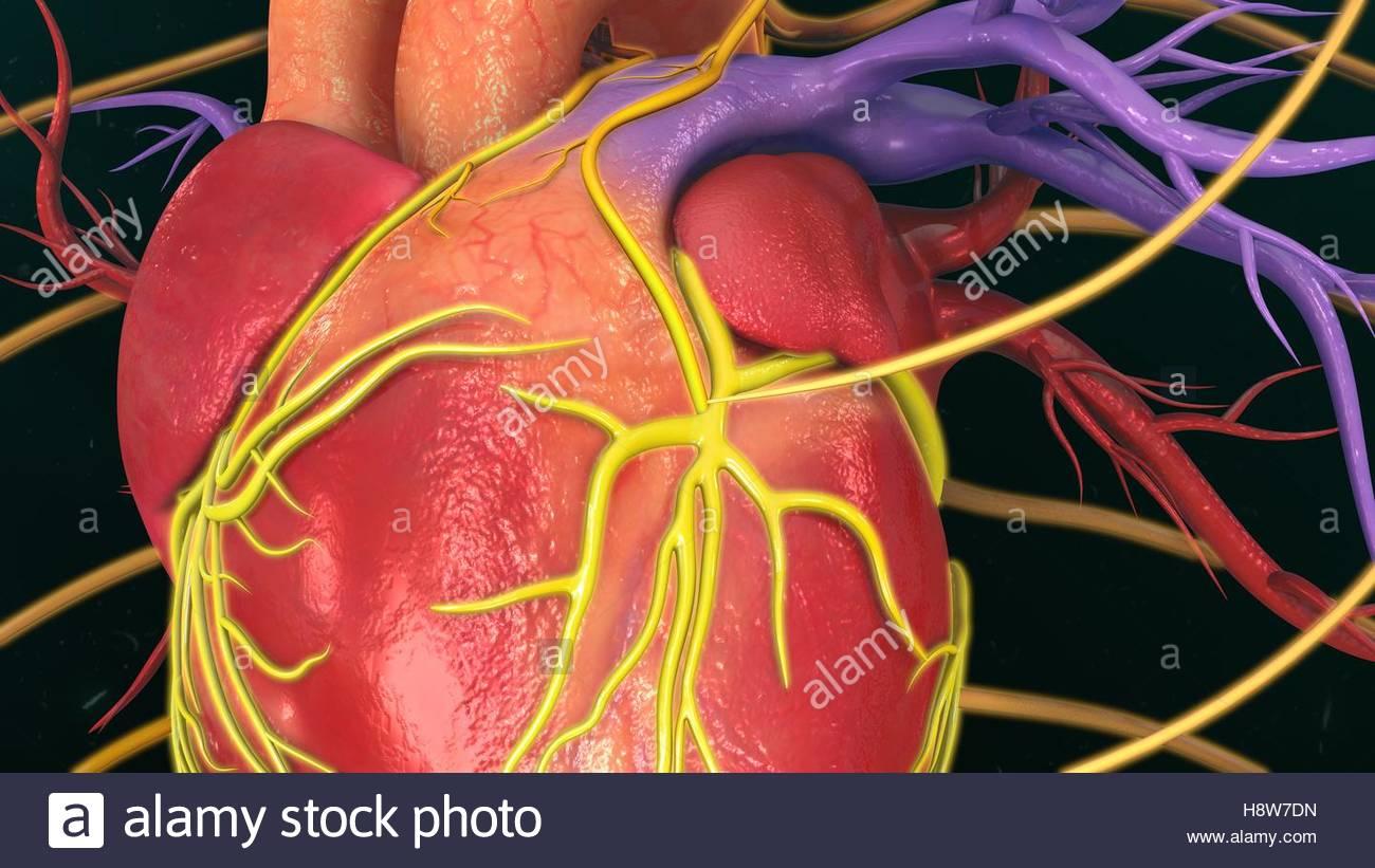 Ausgezeichnet Anatomie Und Physiologie Des Menschlichen Herzens Pdf ...