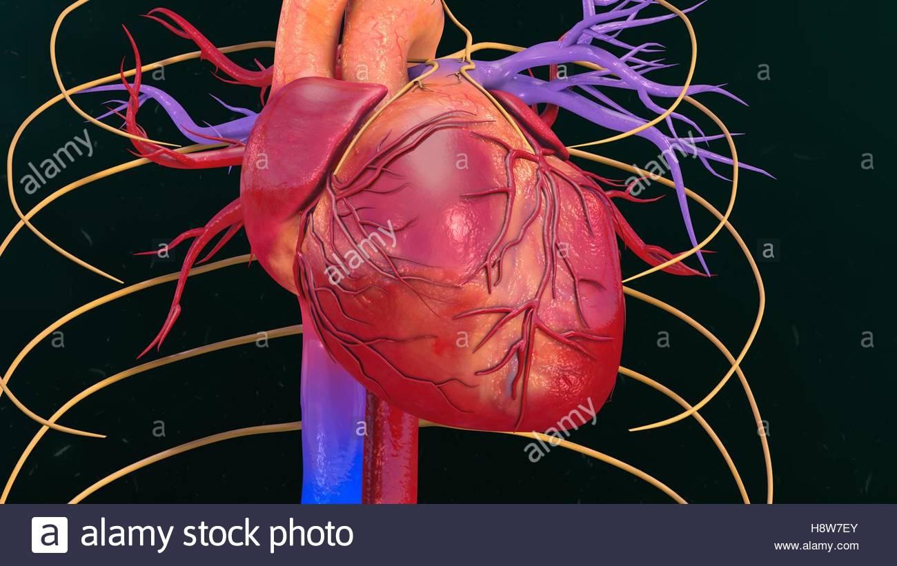 Niedlich Makroskopische Anatomie Des Menschlichen Herzens Fotos ...