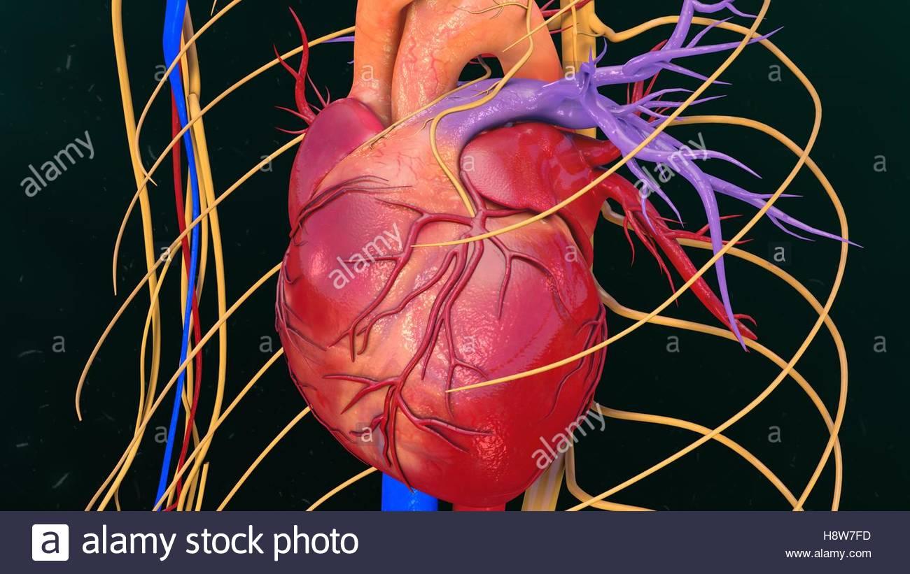 Wunderbar Anatomie Des Menschlichen Herzens Video Zeitgenössisch ...