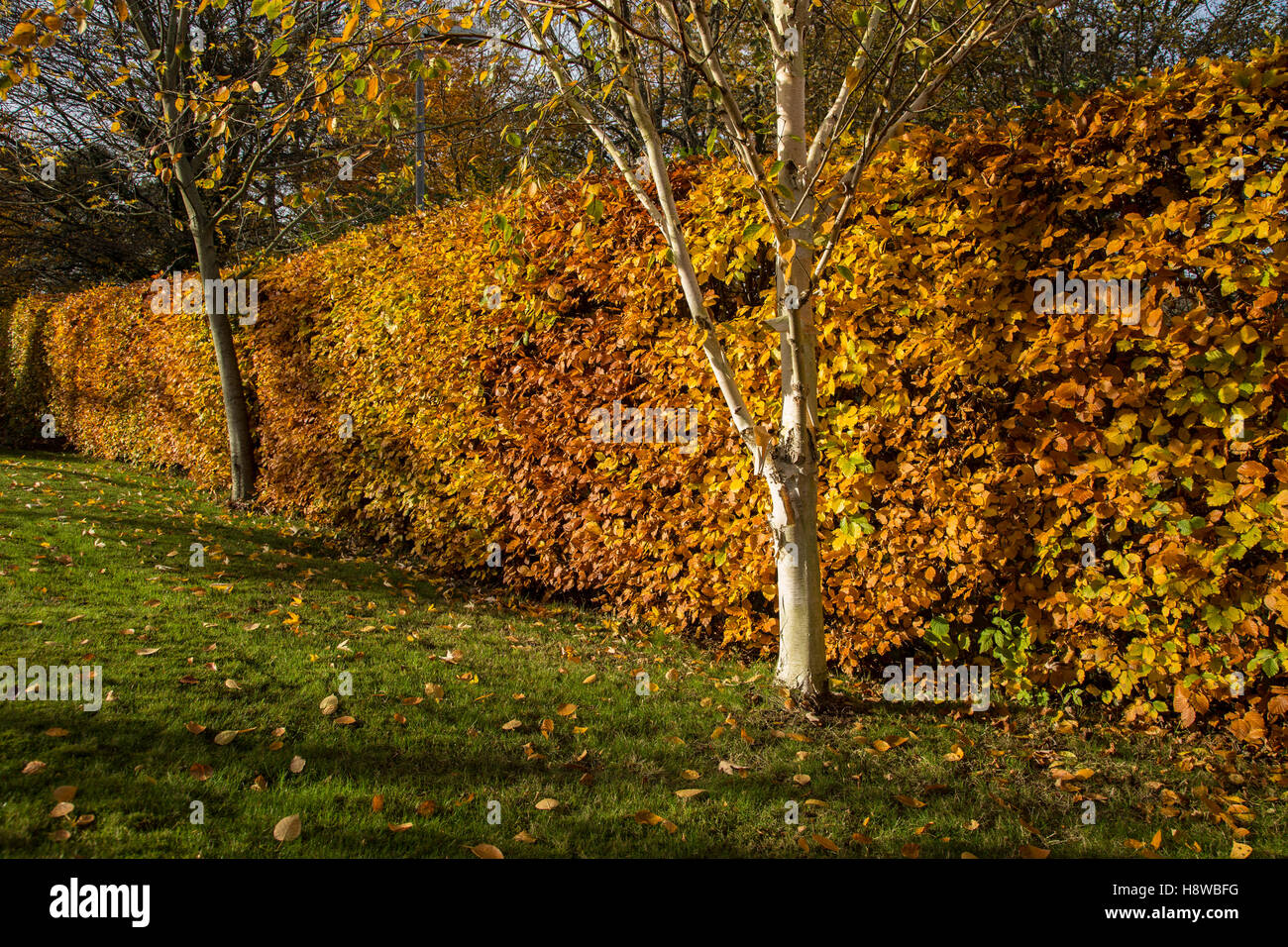common beech fagus sylvatica hedge stockfotos common beech fagus sylvatica hedge bilder alamy. Black Bedroom Furniture Sets. Home Design Ideas