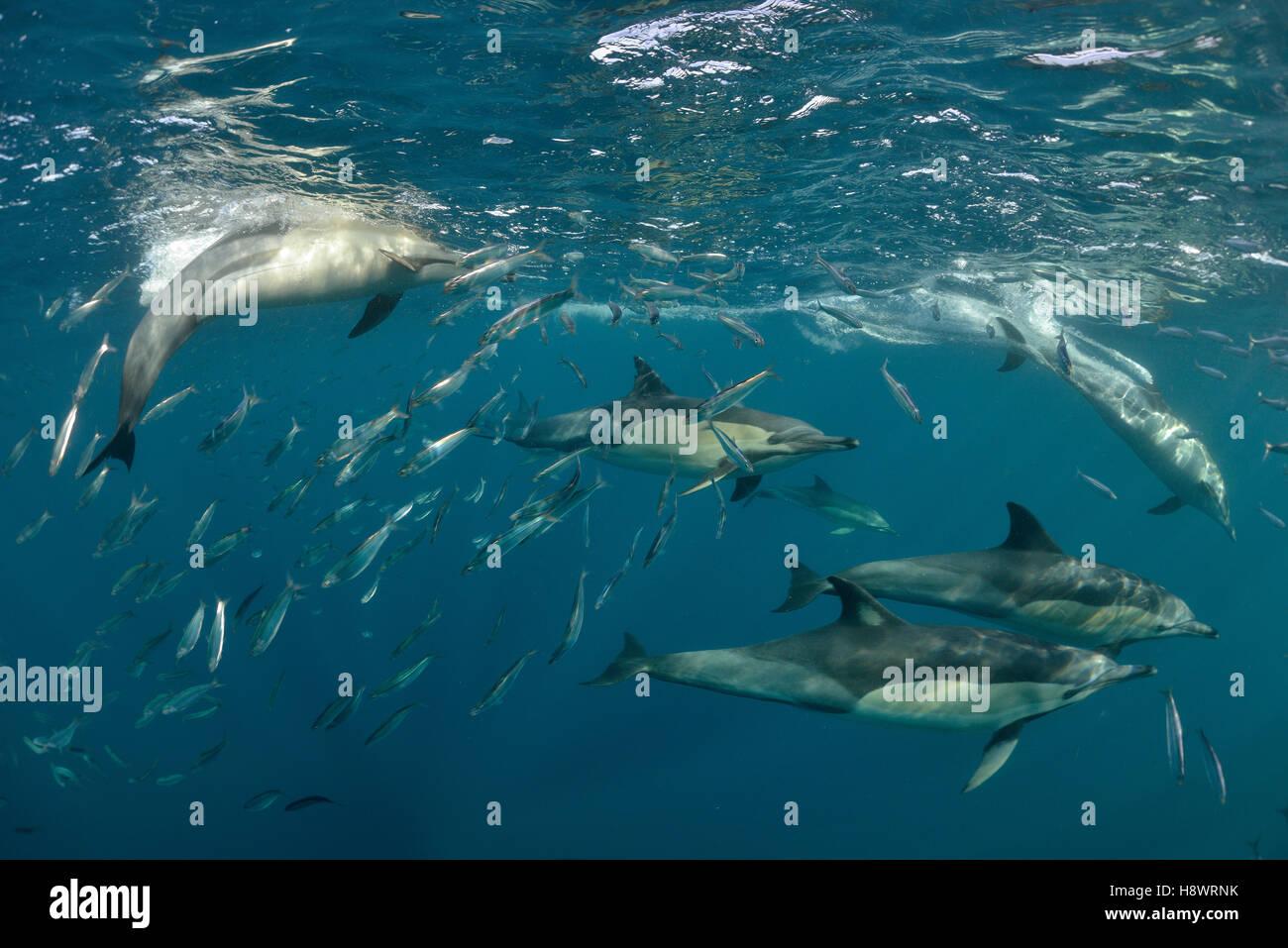 Schnabel gemeine Delfine (Delphinus Capensis) Gruppe jagen Sardinen während der Zeit der Sardine-Run - Off Port Stockfoto