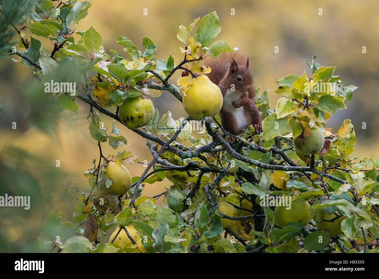 Eichhörnchen (Sciurus Vulgaris), In einem Quitte Baum (Cydonia Vulgaris) inautumn in einem Landschaftsgarten, Stockbild