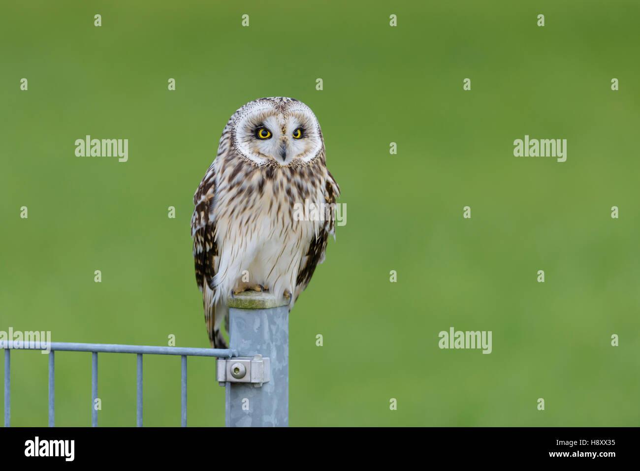 Sumpfohreule, Asio Flammeus, wilde Short Eared Owl Stockfoto