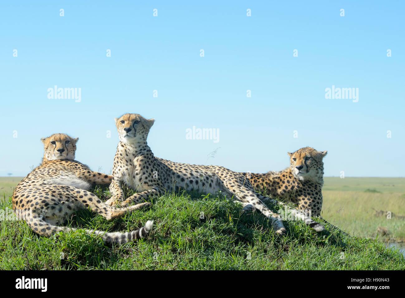 Drei Cheetah (Acinonix Jubatus) auf Hügel in Savanne, Nahaufnahme, Masai Mara National Reserve, Kenia Stockbild