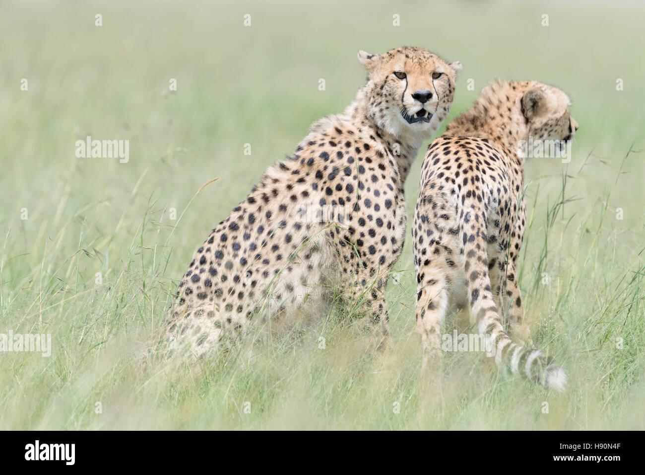 Zwei Geparden (Acinonix Jubatus) auf der Suche in Savanne, Masai Mara National Reserve, Kenia Stockbild