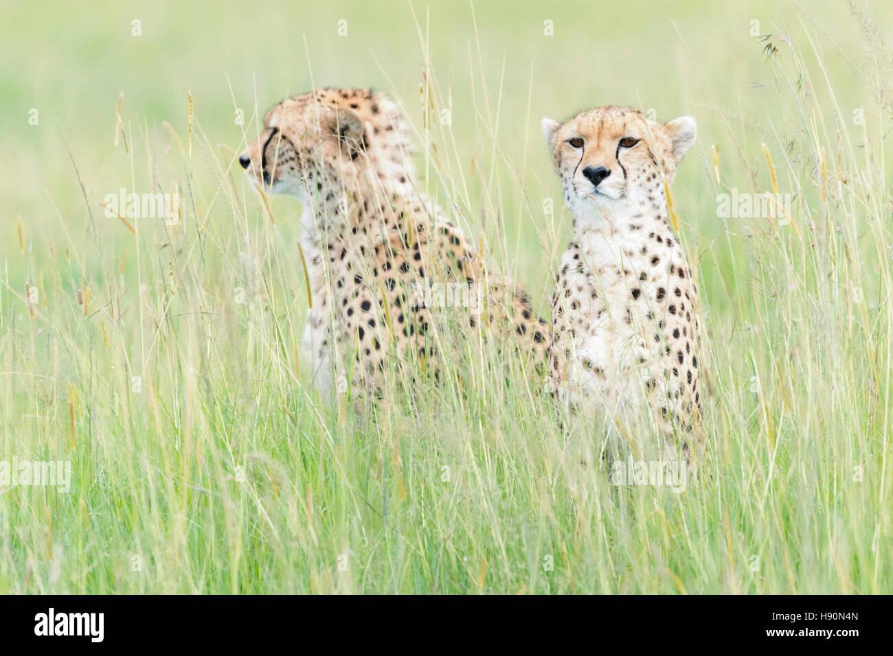 Zwei Geparden (Acinonix Jubatus) sitzen auf Savanne, Masai Mara National Reserve, Kenia Stockbild