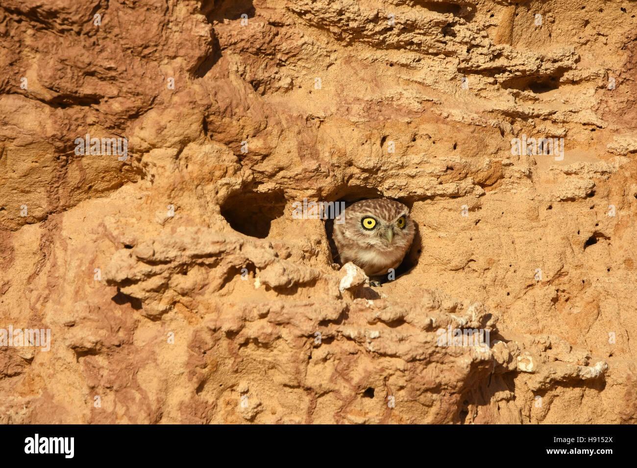Steinkauz, Athene Noctua, spähte aus seiner burrow Stockfoto