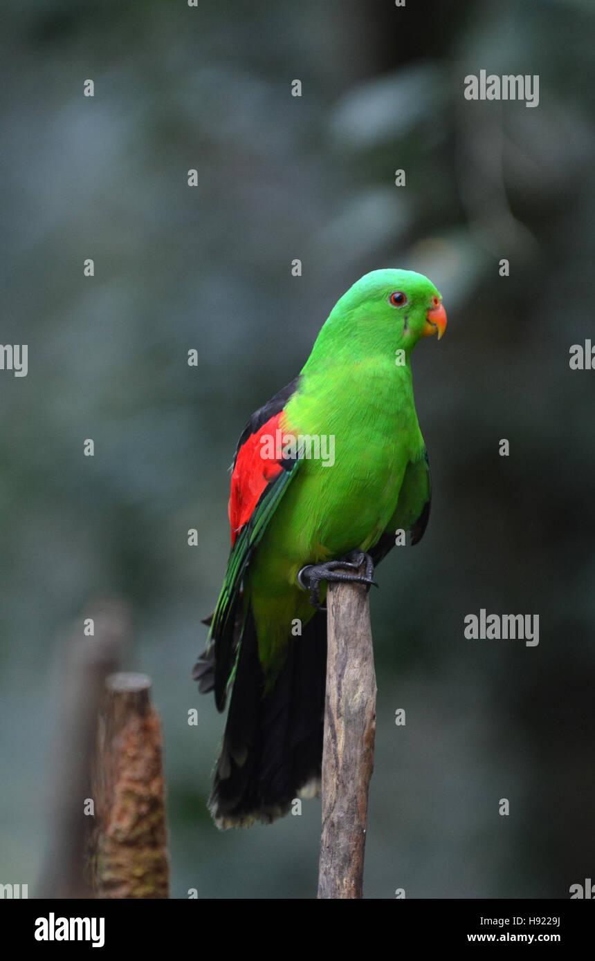 Red Winged Parrot (Aprosmictus Erythropterus), ist ein ursprünglich aus Australien und Papua Neuguinea Papagei. Stockbild