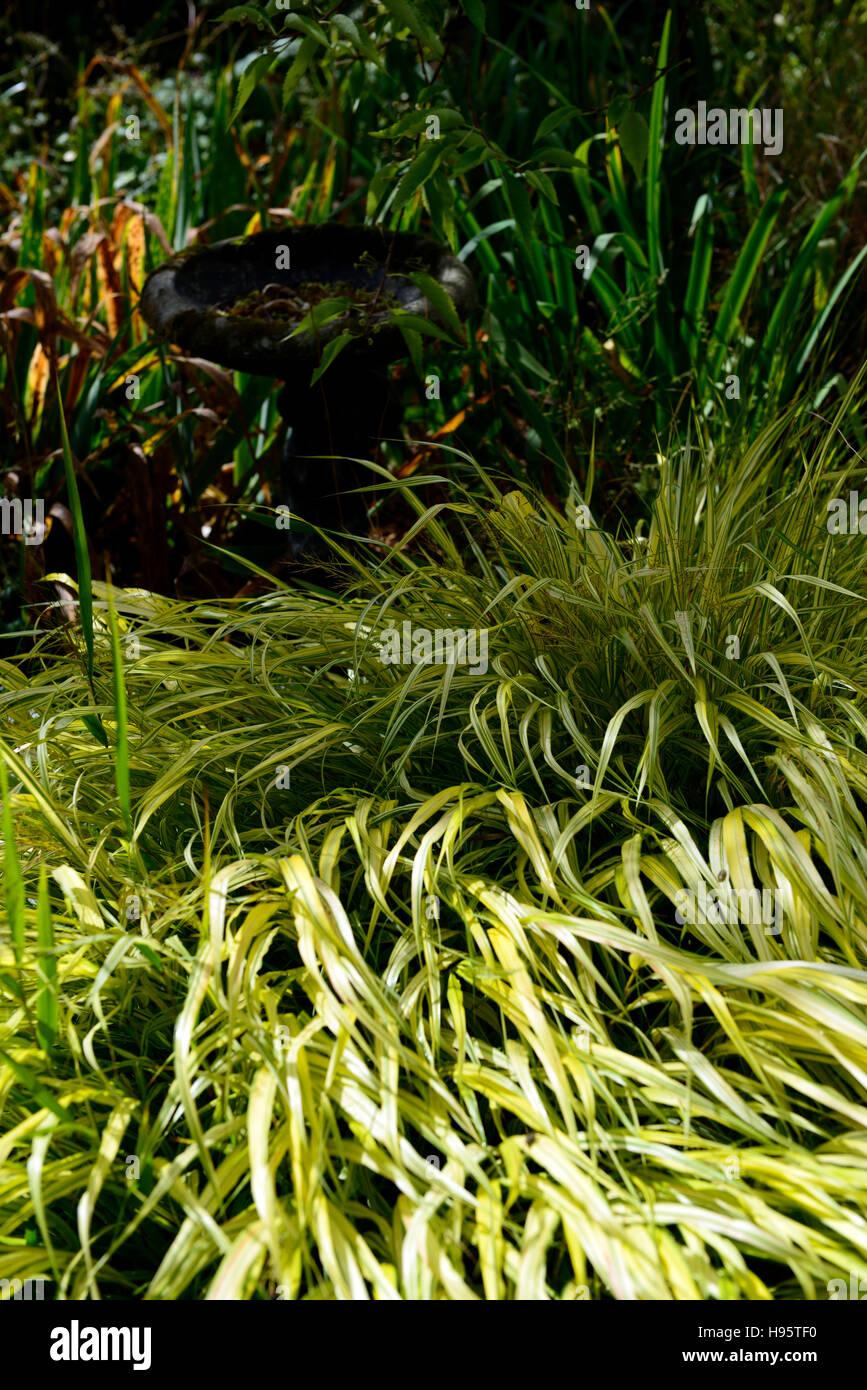 Hakonechloa Macra Aureola goldenen japanischen Wald Rasen Gräser bunte Laub Blätter Schatten schattige Stockbild