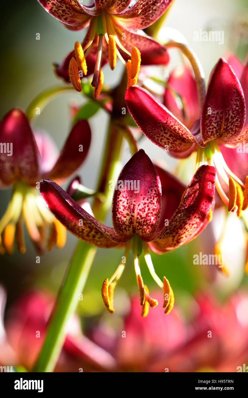 Lilium Martagon russischen Morgen Lilie Lilien rote Blume Blumen ewigen Sommer Schatten schattige Türken Kappe Stockbild