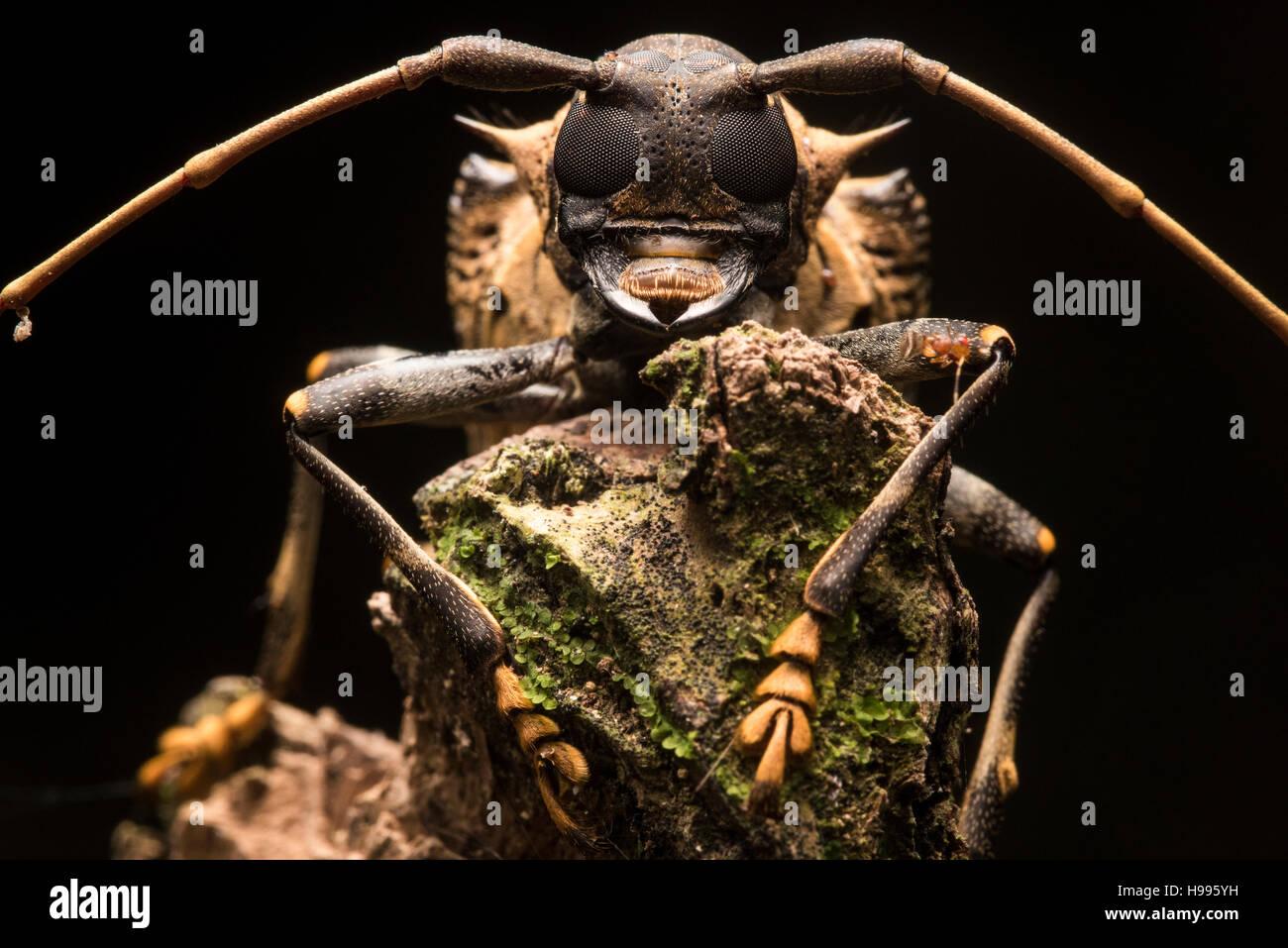 Ein Käfer-Porträt aus dem peruanischen Dschungel. Stockbild