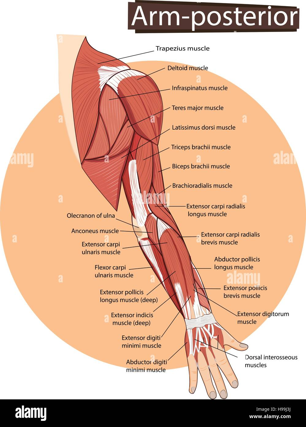 Vektor-Illustration der Arm Anatomie Vektor Abbildung - Bild ...
