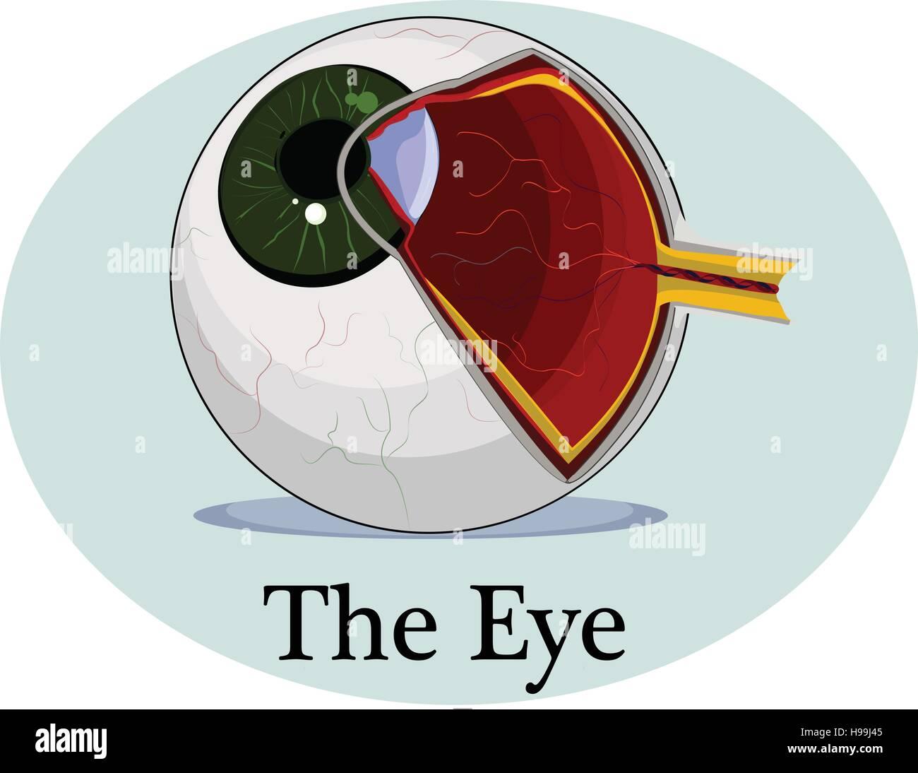 Großartig Auge Anatomie Und Physiologie Animation Galerie ...