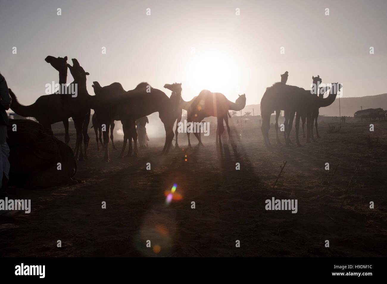 Kamele bei Sonnenuntergang die Camel Fair in Pushkar Rajasthan Indien Stockfoto